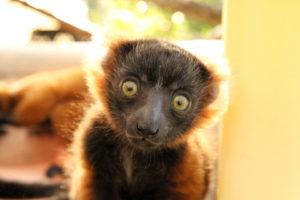 Red ruffed lemur infant Betsiboka looks at camera