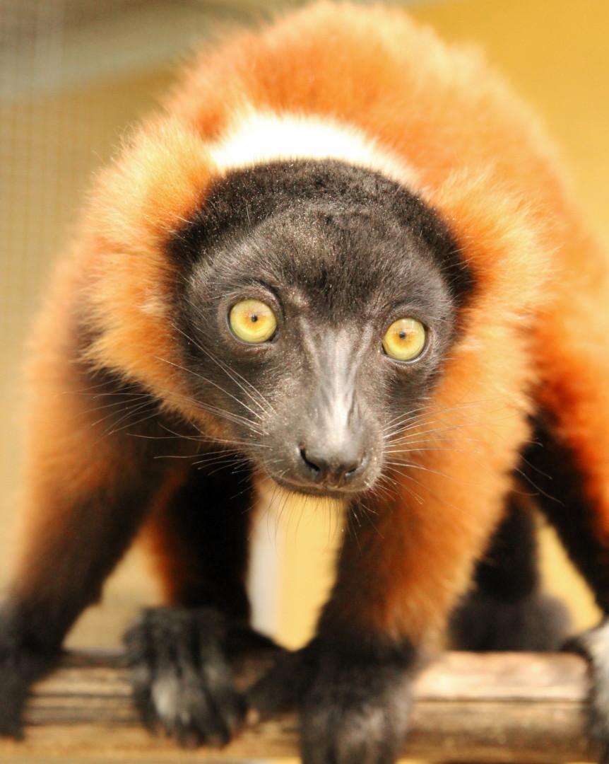 Red ruffed lemur triplet Betsiboka
