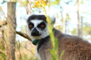 Ring-tailed lemur sits profile to camera but looking at camera