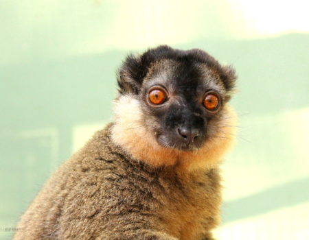 Male collared lemur looks at camera