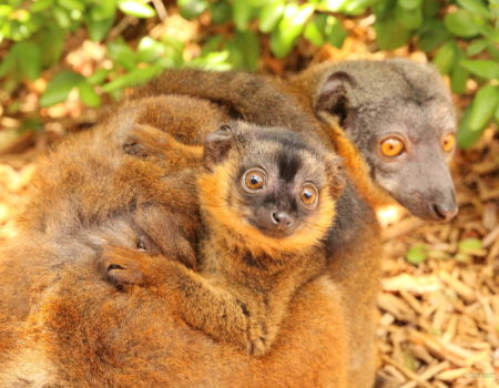Infant collared lemur wrapped around mom's abdomen and looking at camera