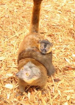 Collared lemur infant Voltaire curled around mom's abdomen