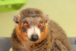 Mongoose lemur Julio looking to right of camera