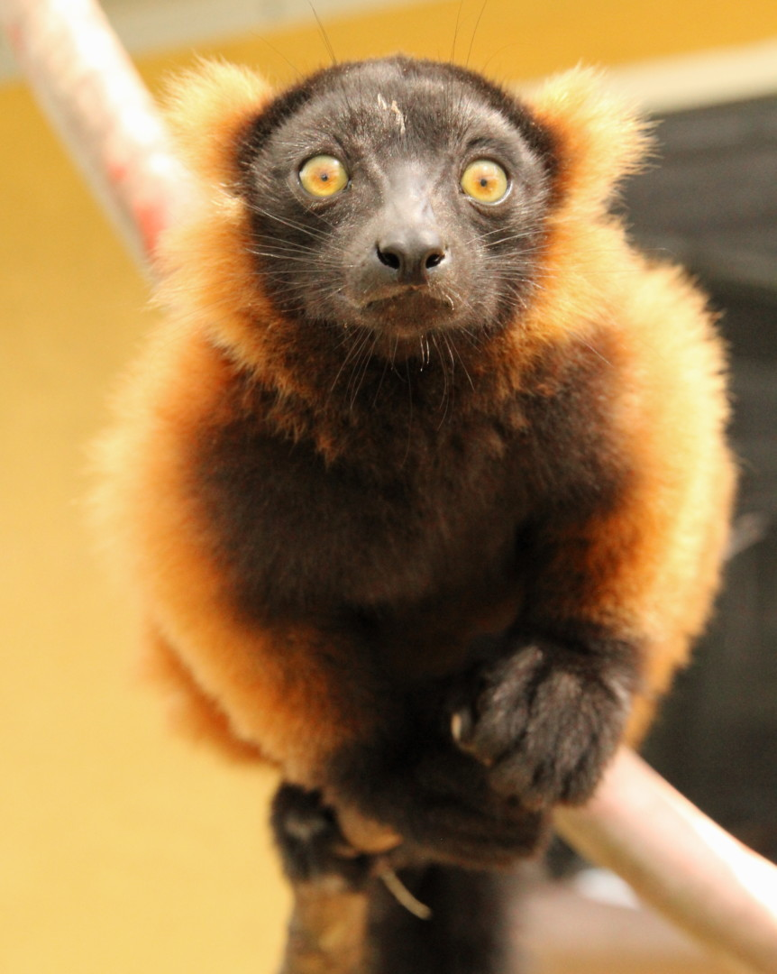 Red ruffed lemur triplet Mangoky