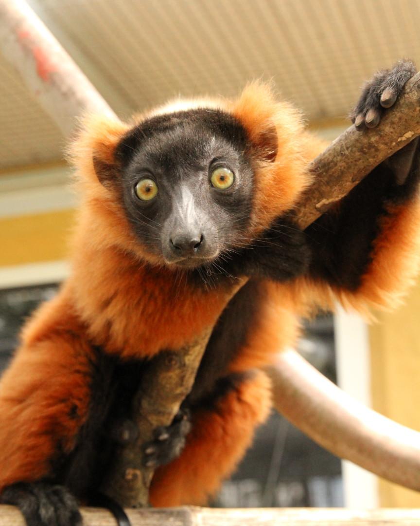 Red ruffed lemur triplet Onilahy