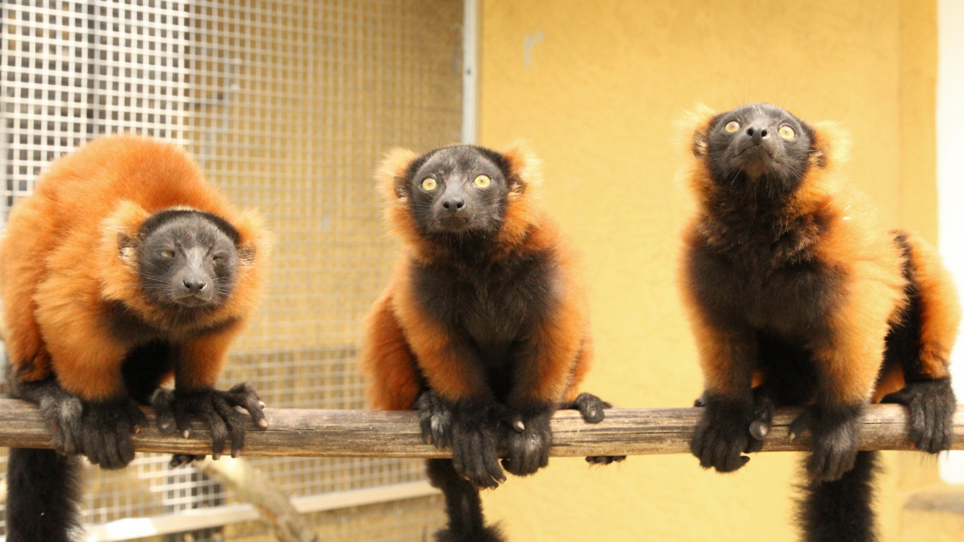 Red ruffed triplets in line on a branch