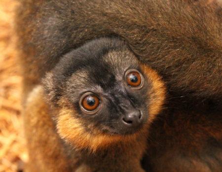 Collared lemur infant Voltaire huddled on mom