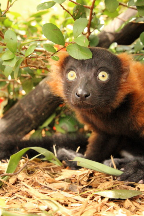 Young red ruffed lemur Tsambiky sitting under a bush