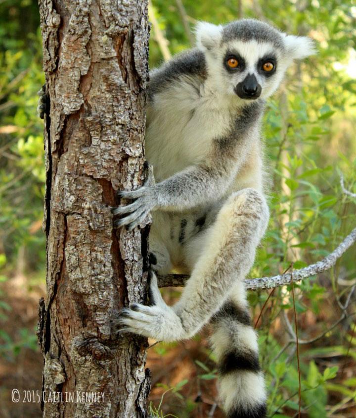 Ring-tailed lemur climbing tree
